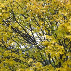 Elm tree at last turning a shade of yellow
