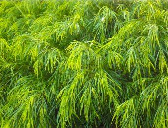 Swamp Wattle Tree