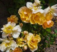 Crepuscule - Climbing Rose peach colored near the Chook Pen