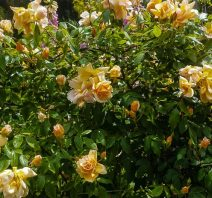 Crepuscule - Climbing Rose near the chook pen - orange and yellow with some peach..