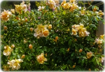 Climbing Rose near the chook pen - orange and yellow with some peach..