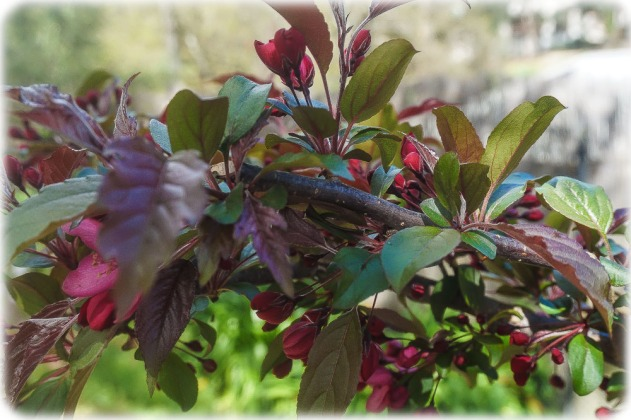 Crab Apple - blossoms almost gone