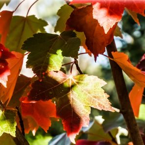 Leaves for Autumn - Trees