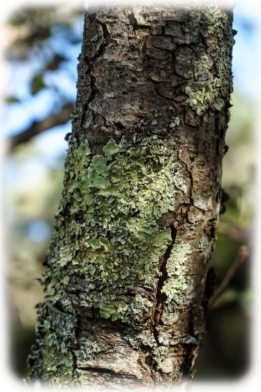 Bark Pear Tree