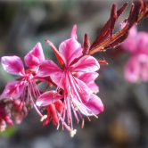 Gaura - Butterfly Plant