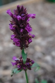 Salvia - dark Purple