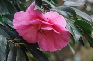 Camelia - Pink