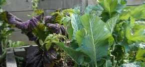 Purple Leaves - great eating in Veggie Garden