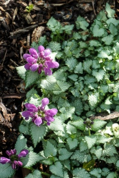 Lamium 'Orchid Frost' - Birch Trees - Ground Cover