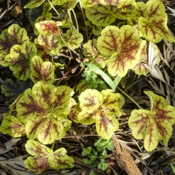 Plant - Heuchera