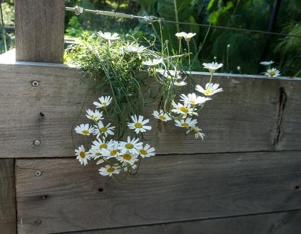 Plant - Citronella Herb