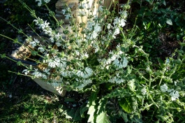 Plant Salvia - Argentia