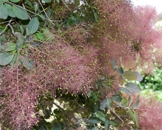 Smoke Bush - Cotinus coggygria