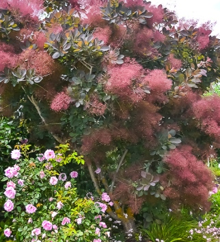 Smoke Bush - Cotinus coggygria with roses