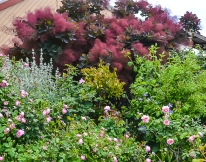 Smoke Bush - Cotinus coggygria as a great backdrop