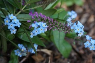 Forget-me-nots and Salvia