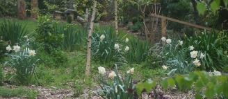 Birch Forest - Underplanting Daffodils
