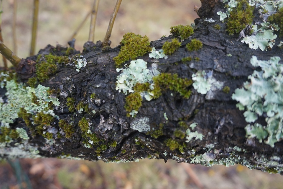 Moss and Mold Pear Tree