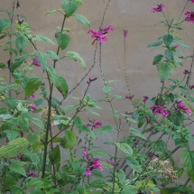 Salvia on the wall