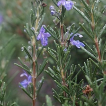 Rosemary in the rain