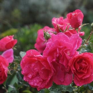 Rose - Carpet on the bank