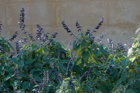 Salvia - Purple and White