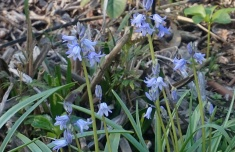Blue Bells - Underplanting in the Birch Forest