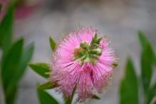 Callistemon - Bottlebrush - Native Plant