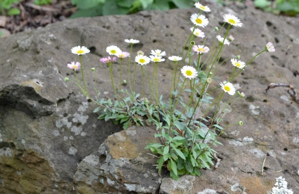 Seaside Daisy growing in a rock