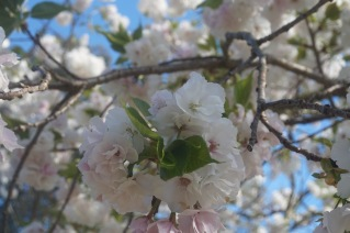 Cherry Blossom - Double