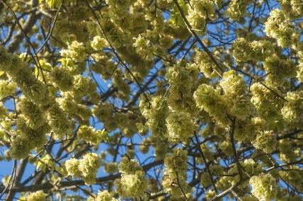 Elm Blossom