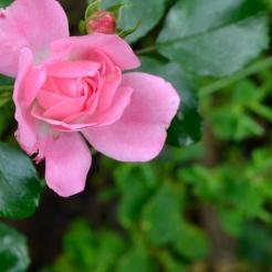 Il Pergolato di Rosa - Rose