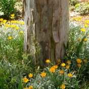 Perennial Garden and Gum Tree