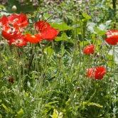 Perennial Garden Poppies
