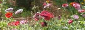 Perennial Garden and Poppies