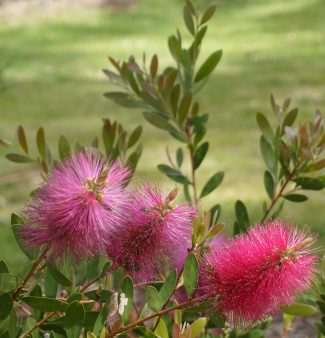 Callistemon - Bottlebrush - Native Plant
