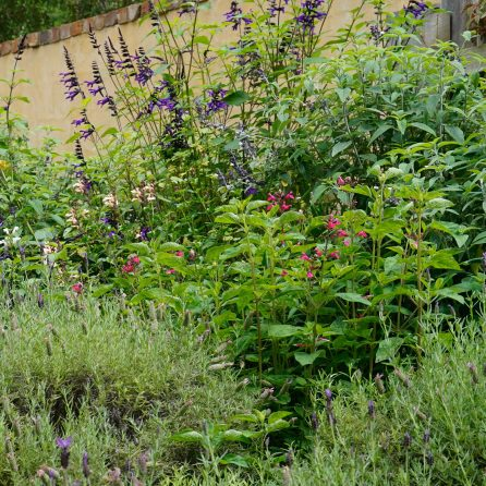 Salvia and Lavender - outside the Secret Garden Wall