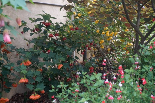 Abutilon - Chinese Lanterns with oak type leaves and salvia in the front