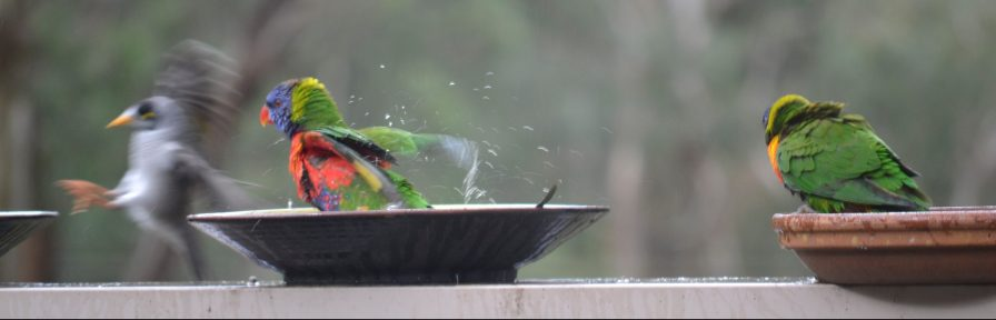 Lorikeets sorting out the Myna Bird