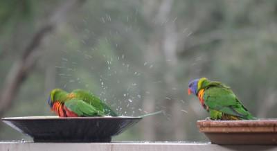 Lorikeets having a Bath