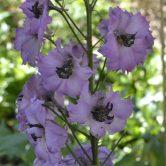 Delphinium/Larkspur perennial