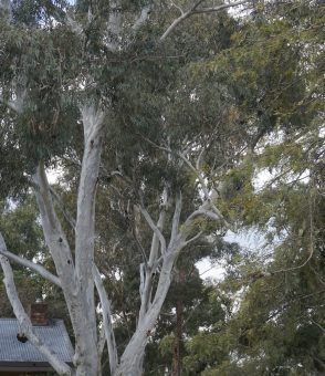 Trees - Gums