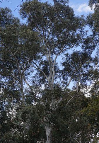 Trees - Gum