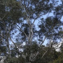 Large Ghost Gum