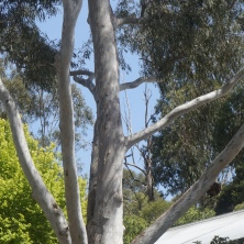 Tree - Ghost Gum