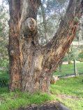 Early Days Il Pergolato di Rosa - Yellow Box Tree