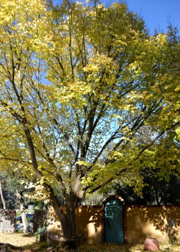 Elm with leaves golden