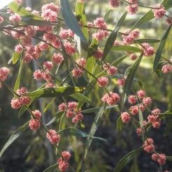 Pink Wattle