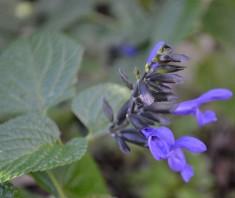 Salvia Purple
