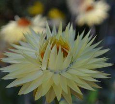 Straw Flower Lemon